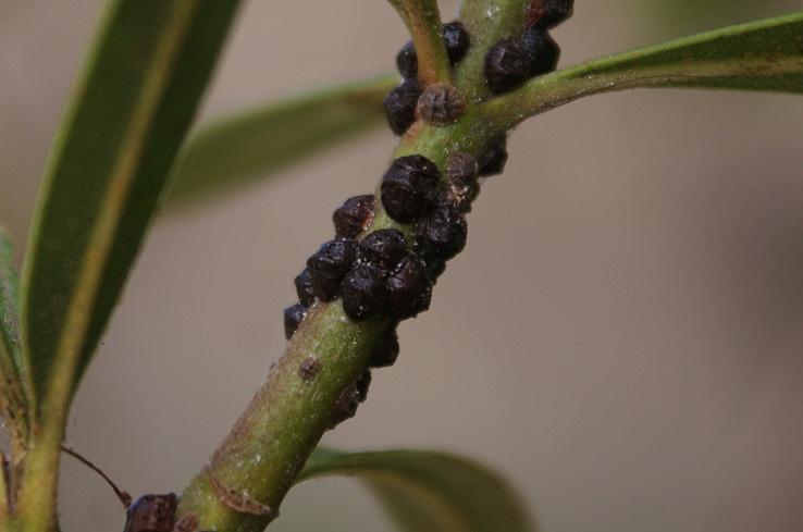 Naturalist - Psylle de l olivier ...