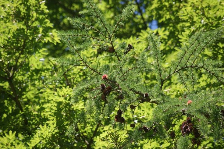 Листва Larix Decidua европейской лиственницы с конусами Стоковое ...   489x735